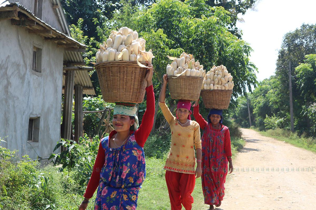 दाङको तुलसीपुर- ११ नवलपुरमा मकै बोकेर घर लैजान लागेका थारु महिला। अहिले दाङका किसानलाई बर्खे मकै भित्र्याउने चटारो छ। – तस्वीर नारायण खड्का ।